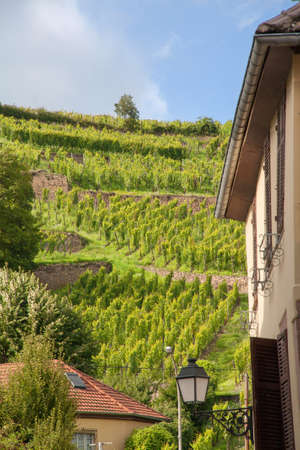 vineyard plain: The vineyards of Ribeauville seen from downtown, Haut Rhin, Alsace Stock Photo
