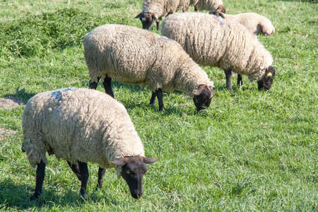 pres: Sheep prs sals in Somme, Picardy, France