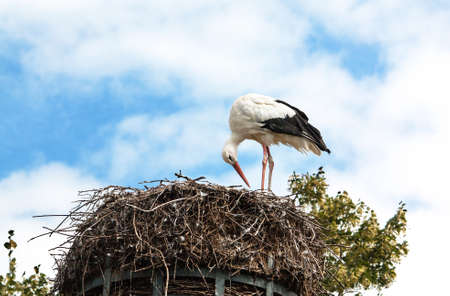 animal only: White Stork - Ciconia ciconia - on its nest in Alsace