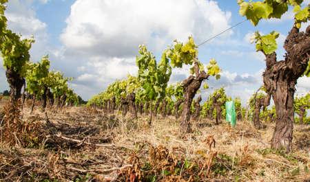 muscadet: Nantes vineyards has Monnieres spring - Loire Atlantique - France Stock Photo