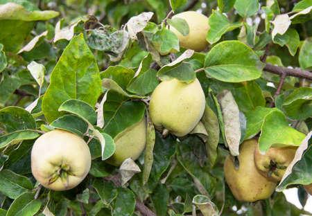 quinces: Quinces on  tree - Cydonia oblonga