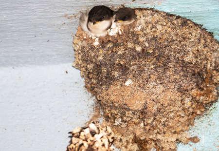 golondrinas: Bbs traga en el nido