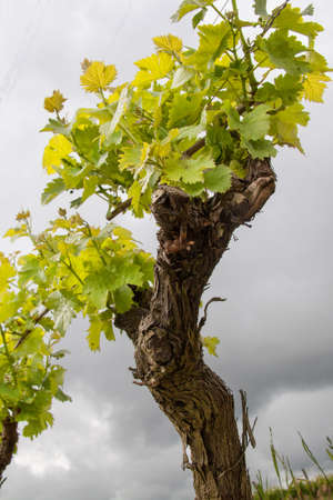 muscadet: Grapes in the vineyards of Muscadet has Monnieres, Loire Atlantique, France