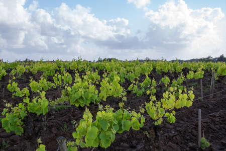 muscadet: Grapes on the vine in a vineyard of Muscadet in Loire Atlantique, France