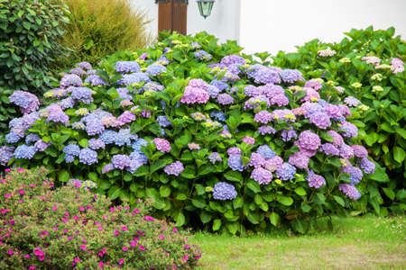 Massif d \ hydrangeas, Finistere, Brittany, France