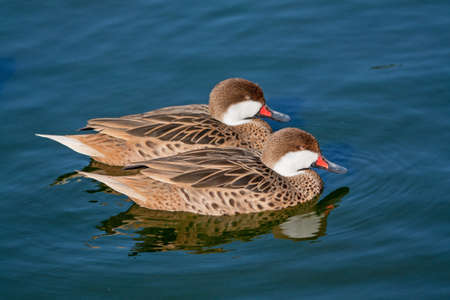 anas: Red-billed ducks Pilet - Anas erythrorhyncha - ride
