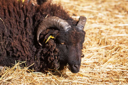 s horn: Black sheep  's Ouessant, Brittany, Finistre Stock Photo