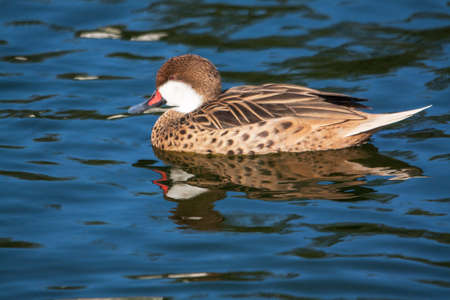 anas: Red-billed Pintail - Anas erythrorhyncha - ride