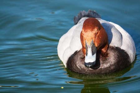 aythya ferina: Pochard Duck  's europe - Aythya ferina Stock Photo
