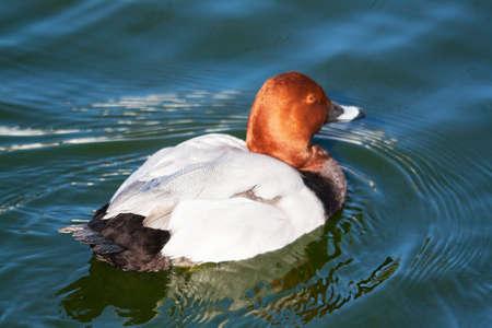 aythya ferina: Pochard duck europe Aythya ferina