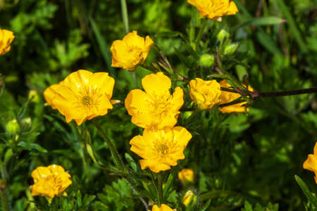 arvensis: Buttercups Ranunculus arvensis flowers Stock Photo