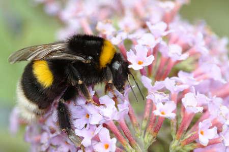 bombus: Bumblebee Bombus terrestris Bumblebee foraging Stock Photo