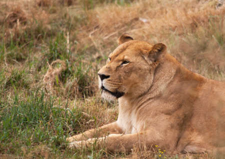 lioness: Lioness at nap time