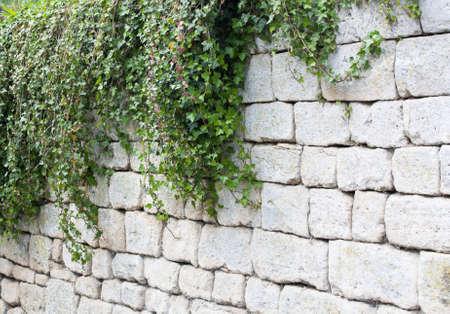 ivy wall: Ivy on limestone wall