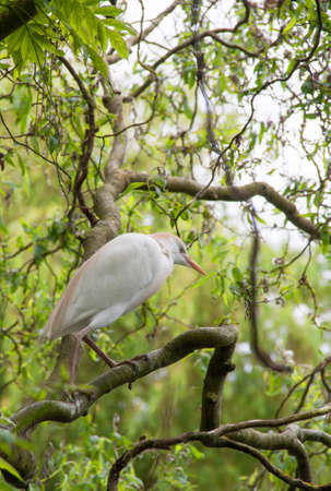 cattle guard: Hron guard oxen bubulcus ibis perch in a tree