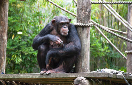 malignant: Portrait of chimpanzee, ape