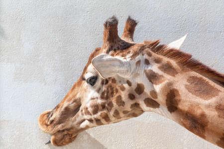 giraffa: Closeup giraffe head - Giraffa camelopardalis