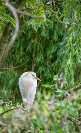 ibis: Heron keeps oxen - Bubulcus ibis - on a branch