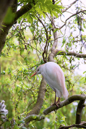 cattle guard: Heron keeps oxen - Bubulcus ibis - on a branch
