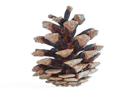 pinecone: Pinecone on white background