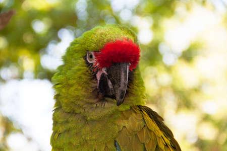 psittacidae: Military Macaw - Ara militaris - close-up