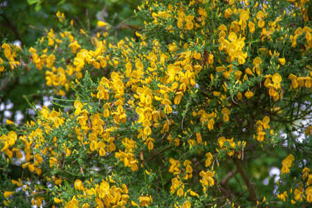 colouration: Broom in bloom