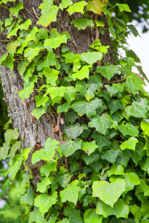 plants and trees: Ivy on tree trunk