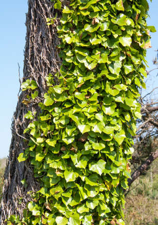 green been: Ivy on the tree trunk Stock Photo