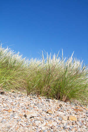 maintain: Sand dune with beach grass to maintain the dune