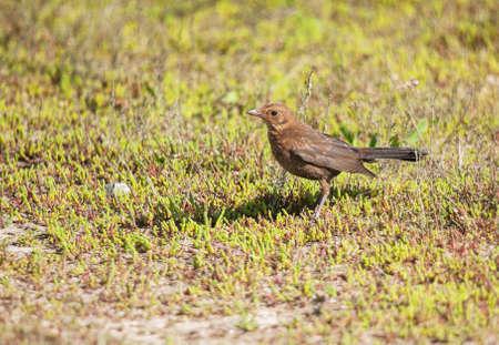 blackbird: Young blackbird - Turdus merula