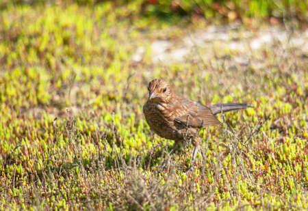turdus: Young blackbird - Turdus merula