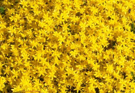 acre: Sedum acre - Sedum acre - blooming
