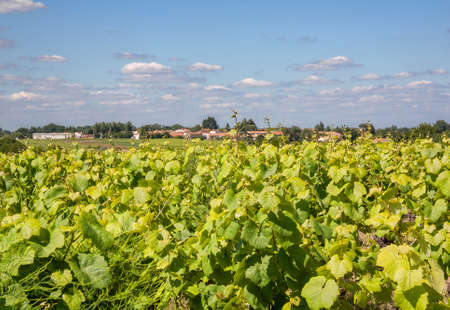 muscadet: Vallet has vineyards in spring Stock Photo