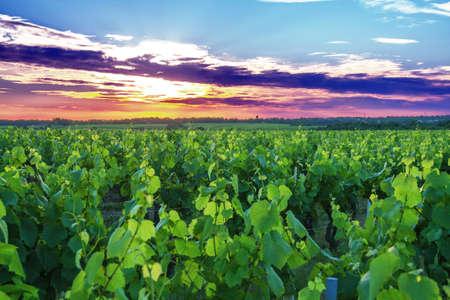 muscadet: Sunset on Nantes Vallet has vineyards in spring