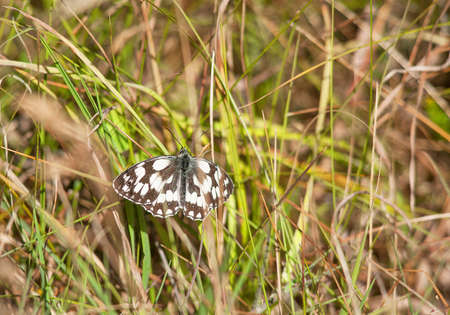 speckled wood: Speckled Wood butterfly - Pararge aegeria