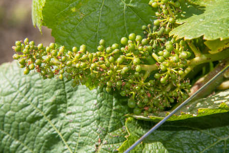 muscadet: Seedling bunch of grapes in the vineyards of Nantes Vallet has spring Stock Photo