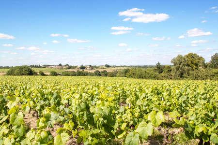 muscadet: Nantes Vallet has vineyards in spring