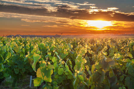muscadet: Sunset over the vineyards has Vallet spring