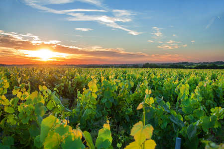 muscadet: Sunset on the Nantes vineyards in spring Vallet Stock Photo