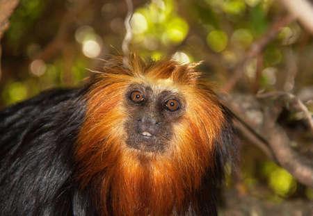 manes: Golden lion tamarin head - Leontopithecus chrysomelas - close-up