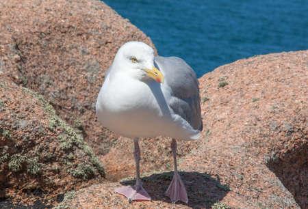 larus: Silver gull - Larus aregentatus - among the rocks