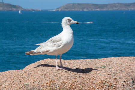 larus: Young silver gull - Larus aregentatus - among the rocks
