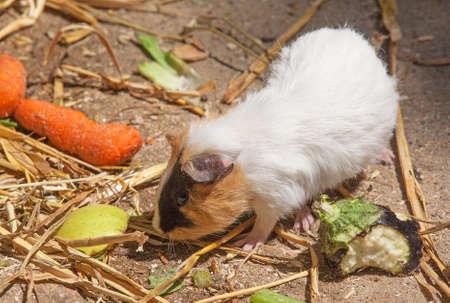 guinea: Guinea pig - guinea pig - taking his meals