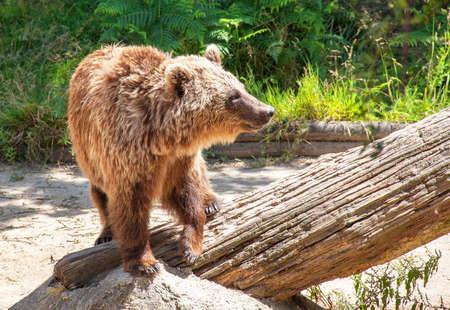 arctos: Brown Bear - Ursus arctos - close-up