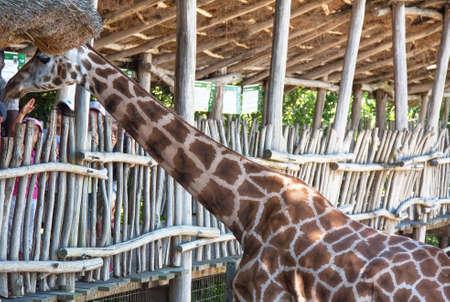 ruminant: Giraffe under a shelter Stock Photo