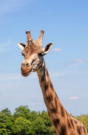 ruminants: Close-up giraffe head