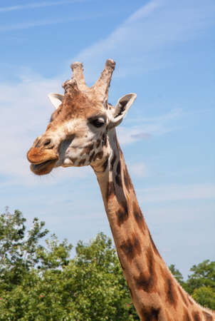 ruminant: Close-up giraffe head
