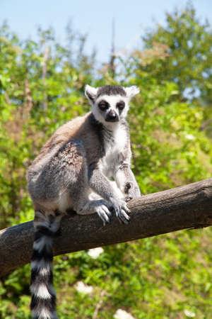 catta: Maki catta - Lemur catta - close-up
