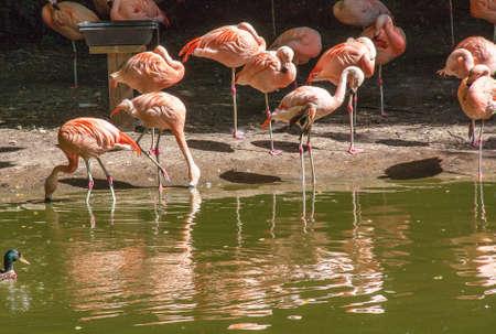 phoenicopterus: Flamingo - Phoenicopterus roseus - in pond