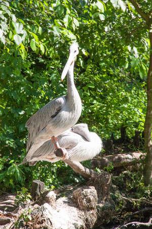 pelecanus: Pelicans closeup - Pelecanus crispus